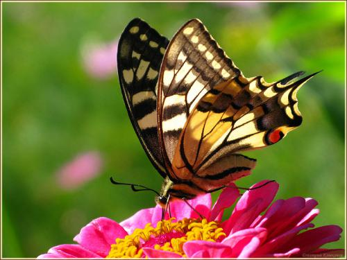 фотография бабочки Махаон с размытым фоном
