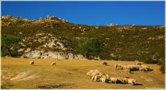 Фото стада овец на горном пастбище