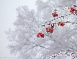 Ветка с красными яблоками на фоне тумана. Фото