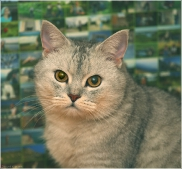 Серьезный кот. Фото красивых кошек