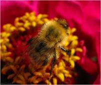 Макросъемка. Пчела на цветке собирает нектар