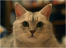 Фото британского кота. Картинки британских котов