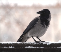 Фото вороны на заборе. Зимние фото