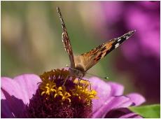 Бабочка крапивница на цветке