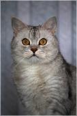 Портрет серого кота с желтыми глазами. Фото британских кошек