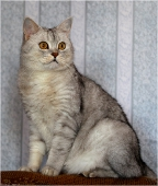 Фото британского серого кота в черную полоску. Фото британских кошек