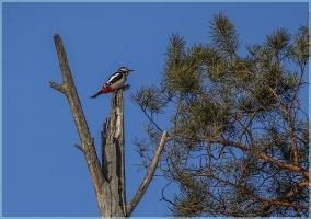 Фотография дятла на верхушке сухого дерева