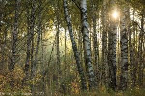 Просвет в желтых березовых кронах