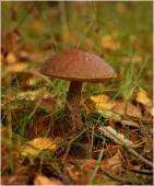 Так выглядит гриб Подберезовик. Фото съедобных грибов.Красивые осенние фото