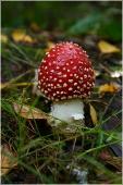 самый красивый гриб. Несъедобные грибы. Мухомор красный. Красивые осенние фото