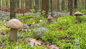 Три отличных подосиновика. Фото съедобных грибов