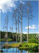 Сухие деревья на берегу лесного озера. Самые красивые фото лета 2011