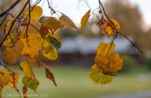 Болдинская осень. Желтые листья на фоне Людской