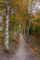Болдинская осень. Верхняя березовая аллея. Пасмурный день