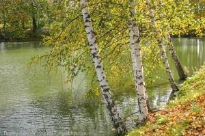 Нижний пруд и березы. Осеннее фото Болдино