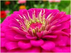 Фото цветов. Пионы