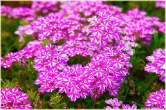 Декоративные сиреневые цветы на клумбе