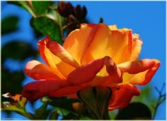 Фото желтой розы