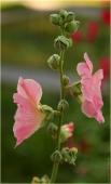 Фото садовой мальвы. Розовая мальва