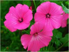 Розовые садовые цветы. Три цветка