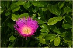 Красивый фиолетовый цветок с желтым центром