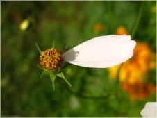 Последний лепесток. Фото садового цветка осенью