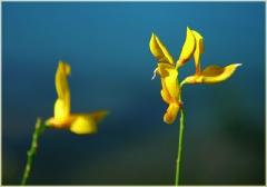 Желтые цветы на фоне синей воды