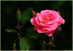Розовая роза и бутон