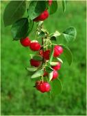 Яблоня китайка. Красные яблоки