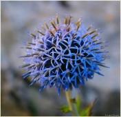 Цветы высокогорья. Синий цветок, растущий на скалах