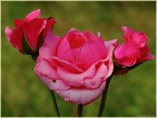 Картинка розы. Букет цветов
