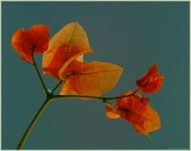 Оранжевый цветок после дождя. Капельки дождя на лепестках
