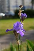 Городские цветы. Фото ирисов. Цветы во дворе на клумбе